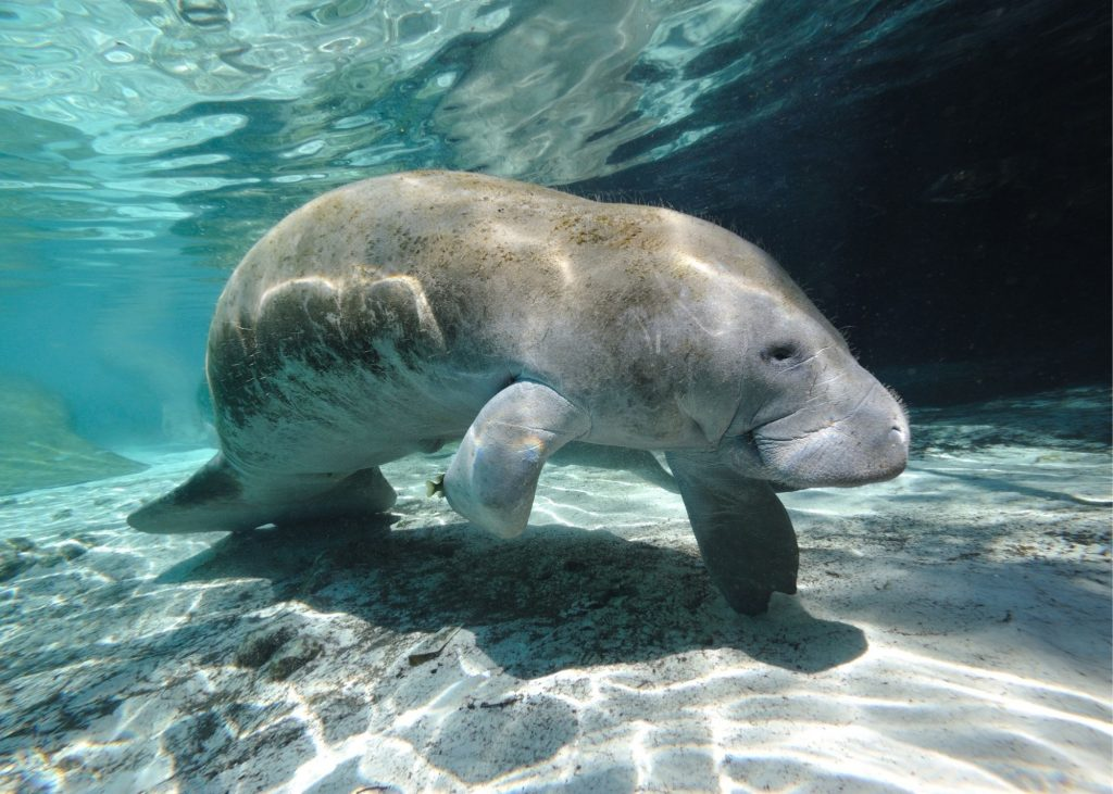 homosassa springs, photo of a manatee under crystal blue water